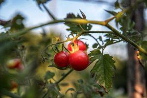 Entdeckung der Tomate